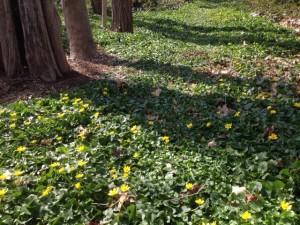 Ranunculus ficaria Long Isalnd